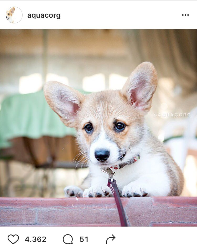 cani-di-instagram-Aqua-the-corgi